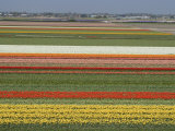 Fields of Flowers Growing Near Keukenhof Gardens, Near Leiden, Netherlands, Europe Reproduction photographique par Ethel Davies