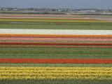 Fields of Flowers Growing Near Keukenhof Gardens, Near Leiden, Netherlands, Europe Stampa fotografica di Ethel Davies