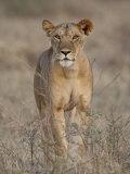 Lioness, Samburu National Reserve, Kenya, East Africa, Africa Photographic Print by James Hager