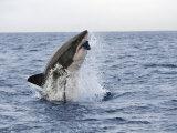 Great White Shark, Breaching to Decoy, Seal Island, False Bay, Cape Town Fotografisk tryk af Ann & Steve Toon