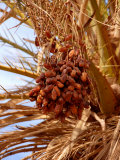 Dates on a Date Palm, Mafo, Ubari, Libya, North Africa, Africa Photographic Print by  Godong