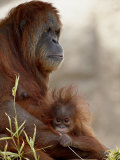 Orangutan Mother and 6-Month Old Baby in Captivity, Rio Grande Zoo Fotografisk tryk af James Hager