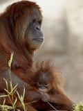 Orangutan Mother and 6-Month Old Baby in Captivity, Rio Grande Zoo Lámina fotográfica por James Hager