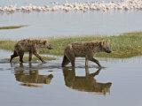 Two Spotted Hyena Walking Along the Edge of Lake Nakuru Lámina fotográfica por James Hager