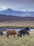 Icelandic Horses Near Snorrastadir, Snow-Covered Peaks of Ljosufjoll Behind Reproduction photographique par Patrick Dieudonne