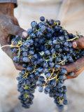 Harvest Worker Holding Malbec Wine Grapes, Mendoza, Argentina, South America Lámina fotográfica por Yadid Levy