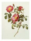 Rosa Gallica Pumila, from Les Roses, 1817-24 Impressão giclée por Pierre-Joseph Redouté