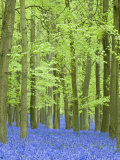 Spring Bluebells in Beech Woodland, Dockey Woods, Buckinghamshire Reproduction photographique par John Woodworth