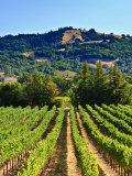 Grape Vines in Northern California Near Mendocino Reproduction photographique par Michael DeFreitas