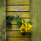 Yellow Acacia Tree Blossoms Against Aging Yellow-Painted Wood Papier Photo par Diane Miller