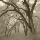 Sepia Toneds Image of Trees in the Wood Photographic Print by Diane Miller