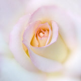 Rose Photographic Print by Diane Miller