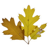 Fall Leaves on a White Background Photographic Print by Diane Miller