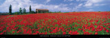 Tuscany, Field of Poppies Posters av Tom Mackie