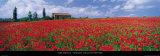 Tuscany, Field of Poppies 高品質プリント : トム・マッキー