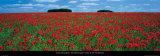 Cotswolds, Field of Poppies Posters van Tom Mackie
