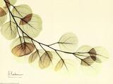 Sage Eucalyptus Leaves II Poster van Albert Koetsier