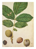 Walnut, c.1568 Giclee Print by Jacques Le Moyne