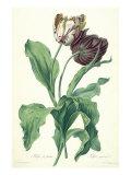 Garden Tulip, from 'Opera Botanica', Engraved by Le Grand, Published 1760s Giclée-Druck von Gerard Van Spaendonck