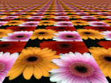 Gerbera Flowers Multiplied in Tiles Photographic Print by Winfred Evers