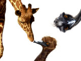 Giraffe, Emu and Offspring Reproduction photographique par Abdul Kadir Audah