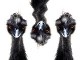 Three Emus Reproduction photographique par Abdul Kadir Audah