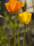 Close-up of Sunlit Poppies Fotoprint av Annie Griffiths Belt