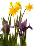 Spring Flowers: Daffodils, Iris and Muscari Photographic Print by Abdul Kadir Audah