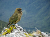 Kea, the Only Alpine Parrot on Mount Fox Photographic Print by Bill Hatcher