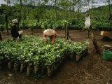 Female Workers Prepare Coffee Plant Seedlings for Planting in Fields Fotografisk trykk av  xPacifica