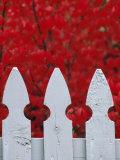 White Picket Fence Against Red Autumn Foliage Fotografisk trykk av Lynn Johnson