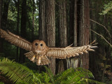 Tagged Northern Spotted Owl in a Redwood Forest Reproduction photographique par Michael Nichols