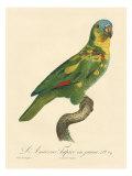 Barraband Parrot No. 89 Stampe di Barraband, Jacques