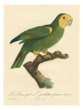 Barraband Parrot No. 98 Poster di Barraband, Jacques