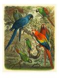 Uccelli tropicali Cassel III Stampe di  Cassel