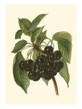 Black Cherries Kunstdrucke von John Wright