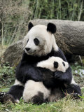 Giant Panda, Mother and Baby Affischer av Eric Baccega