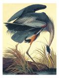 Kanadareiher Kunstdrucke von John James Audubon