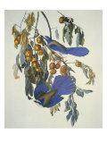 Florida Jay Print by John James Audubon