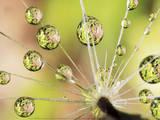 Dandelion Poster af Christopher Talbot Frank