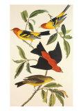 Tangaras à tête rouge et tangara écarlate Posters par John James Audubon