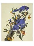 Blauwe gaaien op tak Posters van John James Audubon