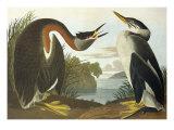 Red-Necked Grebe Posters par John James Audubon