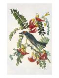 Gray Tyrant Print by John James Audubon