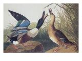 Shoveller Duck Prints by John James Audubon