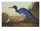 Blue Crane Or Heron Poster af John James Audubon