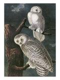Snowy Owl Posters by John James Audubon