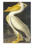 American White Pelican Plakater af John James Audubon