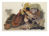 Ruffed Grouse Prints by John James Audubon