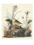 Moineau à ailes jaunes Affiches par John James Audubon